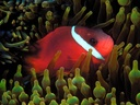 BlackAnemonefish
