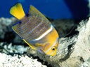 KingAngelfish